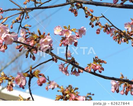 稲毛海岸駅前の河津桜が咲き始めました 62627844