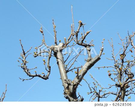 芽を出し始めた落葉樹のカリン 62628506
