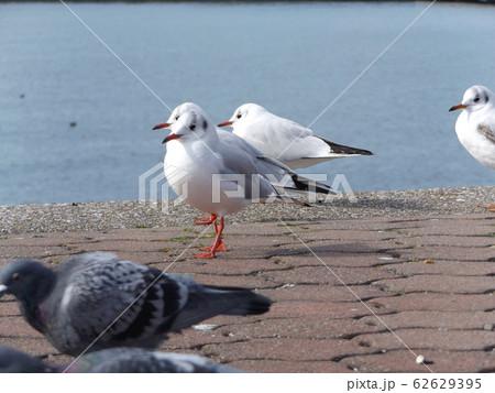 検見川浜の休憩台の上でで休憩中の冬の渡り鳥ユリカモメ 62629395