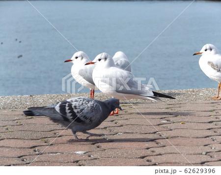 検見川浜の休憩台の上でで休憩中の冬の渡り鳥ユリカモメ 62629396