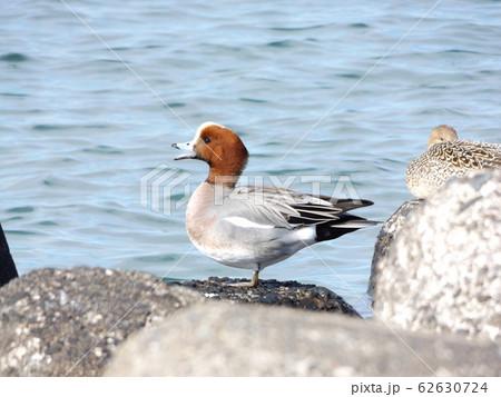 検見川浜の波除ブロックで休憩中のヒドリガモ 62630724