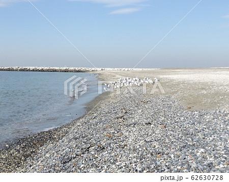 検見川浜の砂浜で休憩中の冬の渡り鳥ユリカモメ 62630728