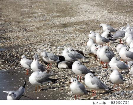 検見川浜の砂浜で休憩中の冬の渡り鳥ユリカモメ 62630734