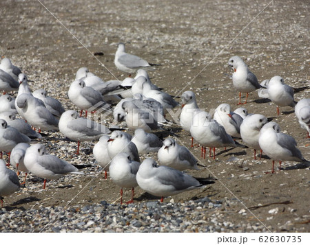 検見川浜の砂浜で休憩中の冬の渡り鳥ユリカモメ 62630735