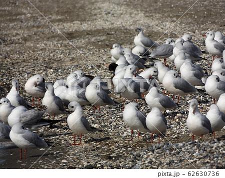 検見川浜の砂浜で休憩中の冬の渡り鳥ユリカモメ 62630736