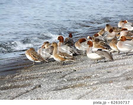 検見川浜の護岸で休憩中の冬の渡り鳥ヒドリガモ 62630737