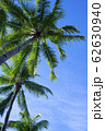 フィリピン パンゴラオ 青空バックのヤシの木 62630940