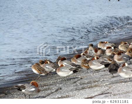 検見川浜の護岸で休憩中の冬の渡り鳥ヒドリガモ 62631181