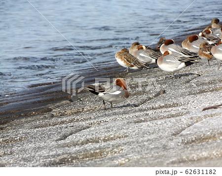 検見川浜の護岸で休憩中の冬の渡り鳥ヒドリガモ 62631182