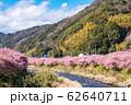 (静岡県-風景)山並みと川沿いの河津さくら3 62640711