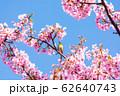 (静岡県-風景)河津桜とメジロ1 62640743