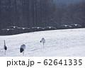 給餌場に飛来した丹頂鶴の群れ(北海道・鶴居) 62641335