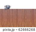 壁から覗くワオキツネザル 62666268