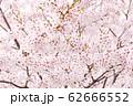 ソメイヨシノ 62666552