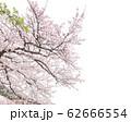 染井吉野 62666554