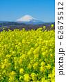 吾妻山公園 満開の菜の花と富士山 62675512