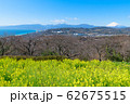 吾妻山公園 満開の菜の花と富士山 62675515