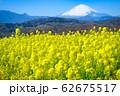 吾妻山公園 満開の菜の花と富士山 62675517