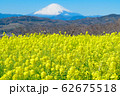 吾妻山公園 満開の菜の花と富士山 62675518