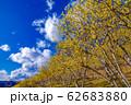 宝登山ロウバイ園【埼玉県長瀞町】 62683880