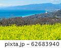 吾妻山公園から見た相模湾と満開の菜の花 62683940