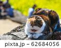 春の陽気に誘われてうたた寝する猫 62684056