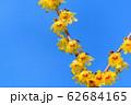 宝登山ロウバイ園【埼玉県長瀞町】 62684165