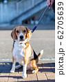 ビーグル犬 ハウンドカラー 小助 62705639