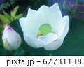 白い蓮の花 62731138