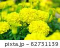 黄色いマリーゴールド 62731139