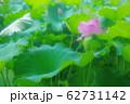 池で咲く蓮の花 62731142