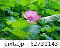 蓮の花 62731143