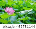 蓮の花 62731144