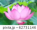満開の蓮の花 62731146