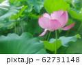 蓮の花 62731148