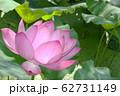 蓮の花 62731149