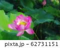 蓮の花 62731151