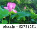 蓮の開花 62731251
