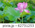 蓮の開花 62731253