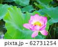 蓮の開花 62731254