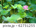 池で咲く蓮の花 62731255