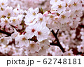 桜 62748181