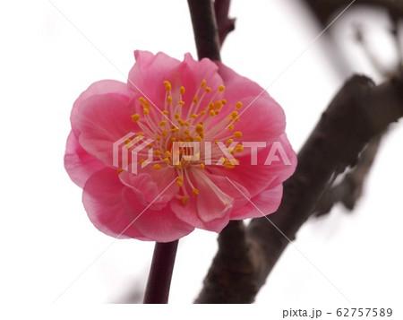 ピンクの梅の花 62757589