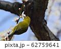梅の花とメジロ(N) 62759641