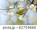 梅の花とメジロ(N) 62759666