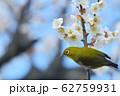 梅の花とメジロ(N) 62759931