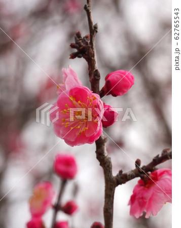 梅の枝 62765543
