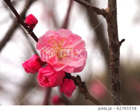梅の枝 62765558