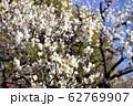 梅の花 62769907