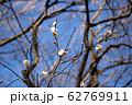 梅の花 62769911